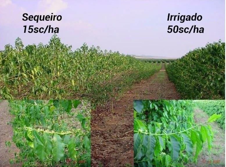 Efeito em plantas de café da falta de água adequada (sequeiro) e ideal (irrigado)