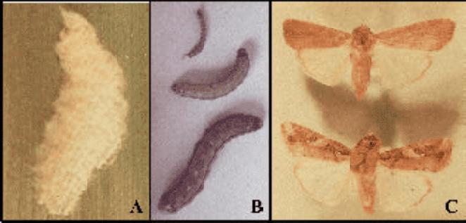 Fases de desenvolvimento de Spodoptera frugiperda - lagarta-do-cartucho-do-milho