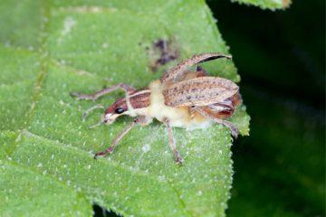 Fungos entomopatogênicos no controle de pragas