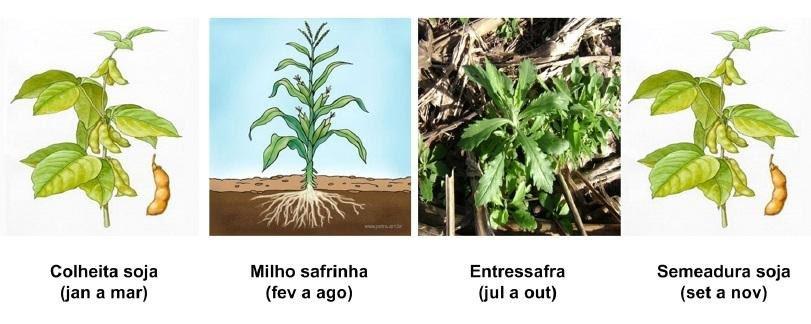imagens que demonstram sucessão de soja-milho safrinha-soja