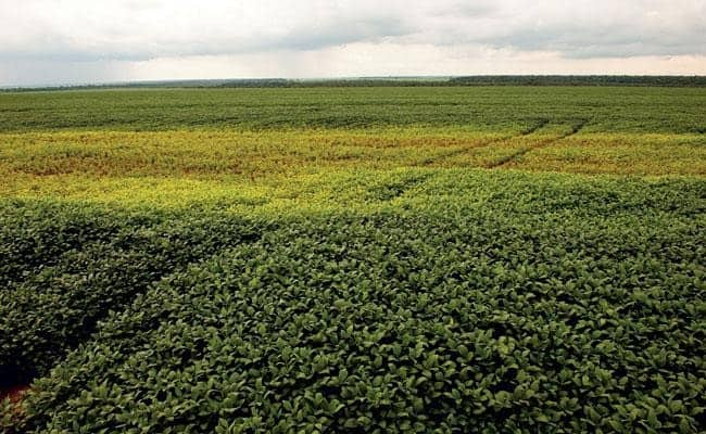 lavoura de soja com sintomas da presença de nematoides na lavoura em forma de reboleiras