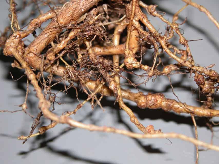 Galhas nas raízes da planta de algodão provocadas por M. incognita
