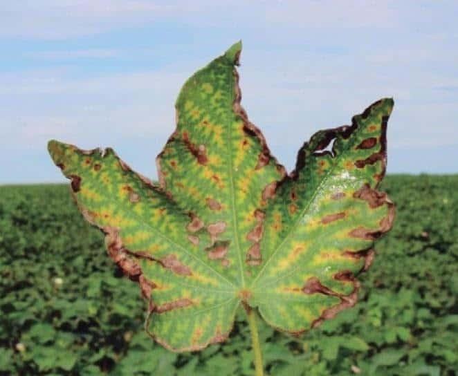 """Sintoma de """"carijó"""" em folha de algodão causado pelo nematoide reniforme"""