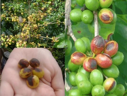 três fotos com sintomas de cercosporiose em grãos de café