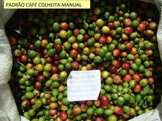 Café colhido de forma manual