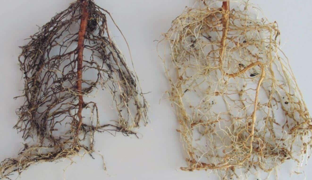 À esquerda, raízes necrosadas pelo parasitismo do nematoide das lesões radiculares. À direita, galhas provocadas por Meloidogyne incognita (plantas com 80 dias após a inoculação)