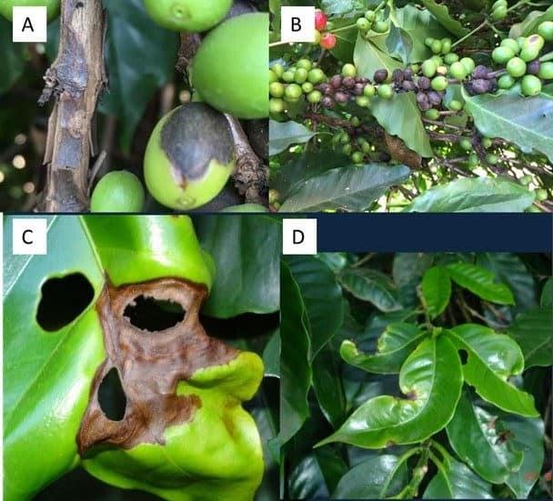 Sintomas de mancha de phoma em ramos e frutos de café (imagens A e B) e nas folhas (imagens C e D)