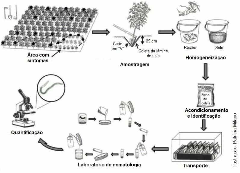 Esquema de amostragem, homogeneização, acondicionamento, identificação, transporte de amostras de solo e raiz da cultura do algodoeiro para quantificação de fitonematoides
