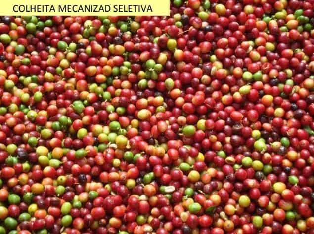 Café de colheita mecanizada seletiva
