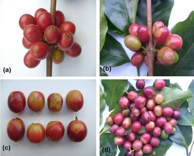 primeira imagem com frutos sadios de café; outras imagens com sintomas de mancha anular: depressão na casca e maturação irregular dos frutos
