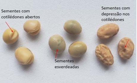 Sementes com cotilédones abertos, esverdeadas e sementes com depressão nos cotilédones, danos causados principalmente por altas temperaturas