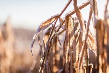 geada no milho