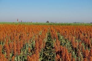 zoneamento agrícola do sorgo forrageiro