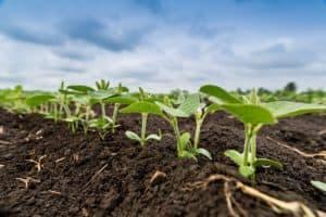 cultivo em terras baixas