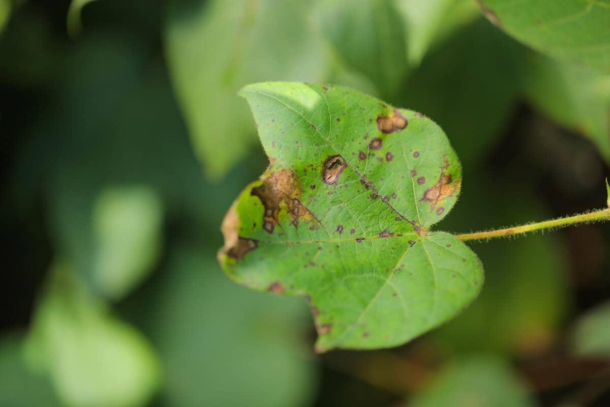 foto de uma folha de algodão com doença, com manchas marrons