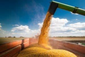 Imagem mostra grãos de milho sendo despejados em uma caçamba, em uma fazenda. No fundo, céu azul com algumas nuvens.