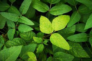 Imagem de folhas de soja com aparente doença.