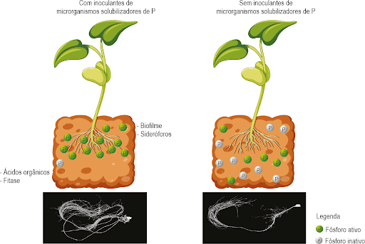 Ilustração que compara plantas com e sem inoculante de microrganismos que solubilizam fósforo