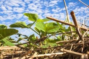 Imagem mostra planta de soja pequena na palha